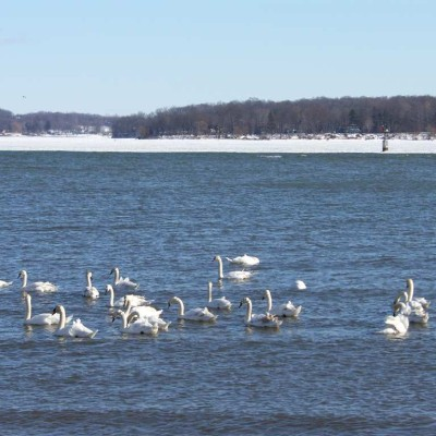 The swans and ducks are enjoying the chill waters!