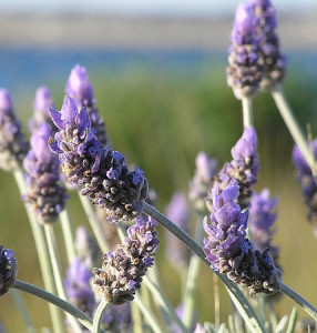 11th Annual NY Lavender Festival @ Olfactory Farm | Red Creek | New York | United States